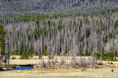 Elk in Rocky Mountain National Park. Near the Grand Lake Entrance of the park Stock Image