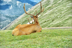 Elk in rocky mountain national park. Elk with velvety antlers resting in a meadow Stock Photos