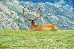 Elk in rocky mountain national park. Elk with velvety antlers resting in a meadow Royalty Free Stock Images