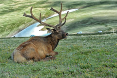 Elk in rocky mountain national park. Elk with velvety antlers resting in a meadow Royalty Free Stock Photo
