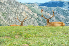 Elk in rocky mountain national park. Elk with velvety antlers resting in a meadow Royalty Free Stock Photography