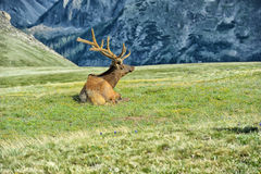 Elk in rocky mountain national park. Elk with velvety antlers resting in a meadow Stock Image