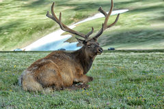 Elk in rocky mountain national park. Elk with velvety antlers resting in a meadow Royalty Free Stock Image