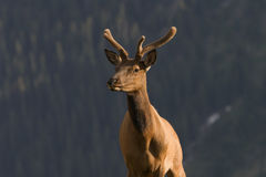 Elk in Rocky Mountains Stock Photo