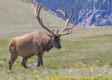 Elk of Rocky Mountains. Elk - Rocky Mountains National Park, Colorado Stock Photos