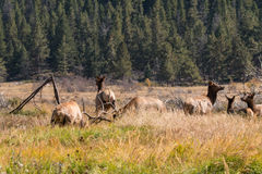 Elk in Rut Royalty Free Stock Photos
