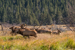 Elk in Rut Royalty Free Stock Images