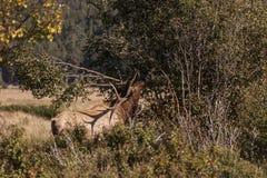 Elk in rut Royalty Free Stock Photos