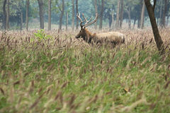 Elk (scientific name: Elaphurus davidianus) Royalty Free Stock Photos
