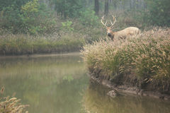Elk (scientific name: Elaphurus davidianus) Stock Photos