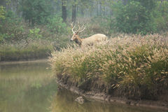 Elk (scientific name: Elaphurus davidianus) Stock Photo