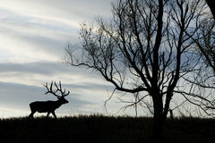Elk Silhouette Stock Images