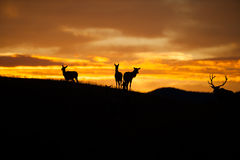 Elk Silhouette Stock Photo