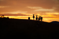 Elk Silhouette Royalty Free Stock Photo