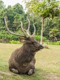 Elk is in Lamtaklong, Khaoyai, Thailand stock image