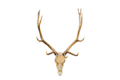 Elk skull isolated Stock Photography