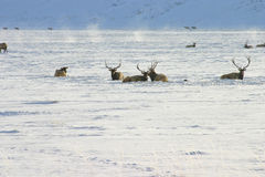 Elk in Snow Stock Photography