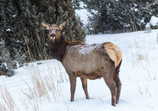 Elk. An elk in the snow Stock Photos