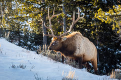 Elk. An elk in the snow Royalty Free Stock Photos