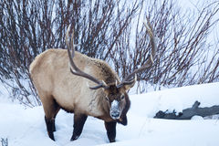 Elk. An elk in the snow Royalty Free Stock Photo
