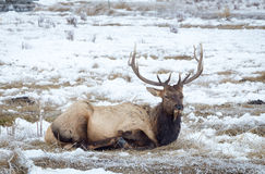 Elk. An elk in the snow Royalty Free Stock Image