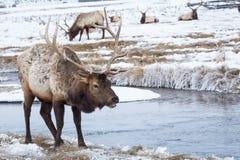 Elk. An elk in the snow Stock Photos