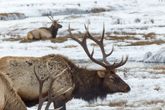 Elk. An elk in the snow Royalty Free Stock Images