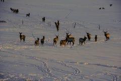 Elk in snow Stock Photography
