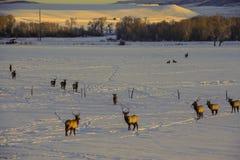 Elk in snow Stock Photos