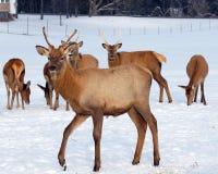Elk in snowy field Royalty Free Stock Photo
