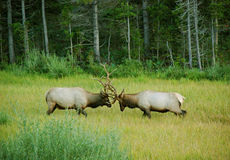 Elk Sparring in a Mountain Meadow Royalty Free Stock Photo