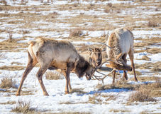 Elk Sparring. Two bull elk sparring on the prairie Royalty Free Stock Images