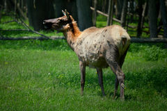 Elk Spotting Royalty Free Stock Images