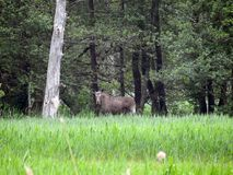 Elk in spring swamp  , Lithuania Royalty Free Stock Photo