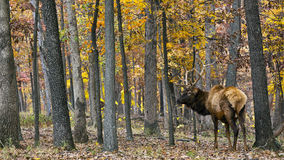 Elk stag in autumn woods Stock Images