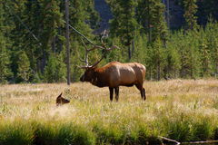 Elk Stag+calf. Elk(Cervus canadensis)Stag+calf taken in Yellowstone  USA Stock Images