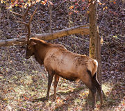 Elk stag Royalty Free Stock Photo
