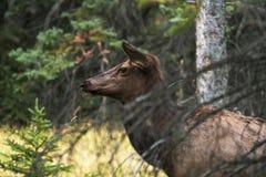 Elk standing behind a tree
