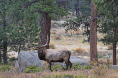 Elk Stare. A bull Rocky Mountain Elk in the hills of Colorado Royalty Free Stock Images
