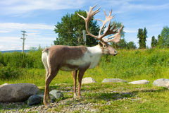An elk statue at teslin Stock Photo