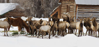 Elk stealing feed from horses stock image
