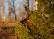 Elk Stealth in the Late Afternoon stock photography
