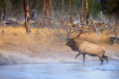 Elk Stepping Onto Frost Covered River Bank Royalty Free Stock Photography