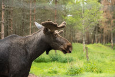 Elk in the swedish woods Royalty Free Stock Photos
