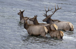 Elk swimming. These elk were swimming across the yellowstone river in yellowstone park Royalty Free Stock Images