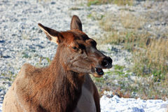 Elk Talk. Royalty Free Stock Image