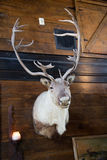 Elk Taxidermy Mounted Stock Images
