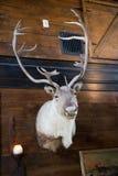 Elk Taxidermy Mounted. Elk or reindeer Taxidermy Mounted Stock Images