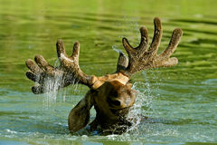 The elk Royalty Free Stock Photo