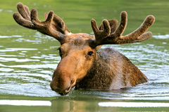 The elk Stock Photography